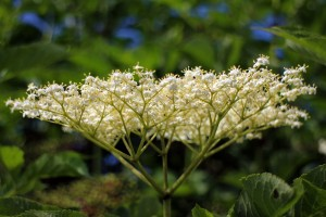 elderberry-flower-374505_1920