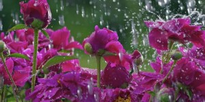flowers_in_the_rain_wallpaper-660x330
