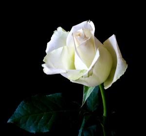 rose-342526_1280