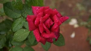 rose-969219_1920