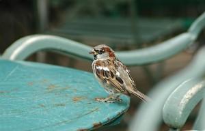 sparrow-741776_1920