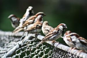 sparrow-775688_1920