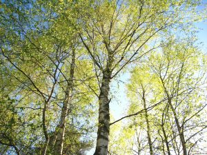 young-birches-1363116_1920
