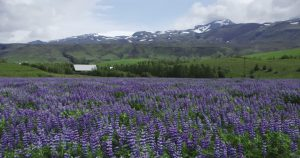 362036164-nootka-lupin-reykjanes-wildflower-meadow-flower